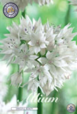 Allium Graceful Beauty met 5 zakjes a 5 bollen