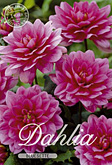 Dahlia Decorative Border Bluesette per 1
