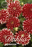 Dahlia Decorative Border Little Tiger per 1