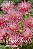 Dahlia Decorative Border Park Princes per 1
