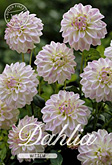 Dahlia Decorative Border Wittem per 1