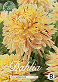 Dahlia Decorative Cambridge per 1