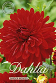 Dahlia Decorative Garden Wonder per 1