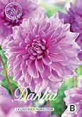 Dahlia Decorative Lavender Perfection per 1