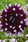 Dahlia Decorative Mystery Day per 1