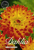 Dahlia Decorative Procyon per 1