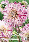 Dahlia Decorative Smokey per 1