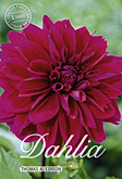 Dahlia Decorative Thomas A Edison per 1